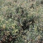 Bridgestone Partners With Versalis on Guayule Commercialization Project